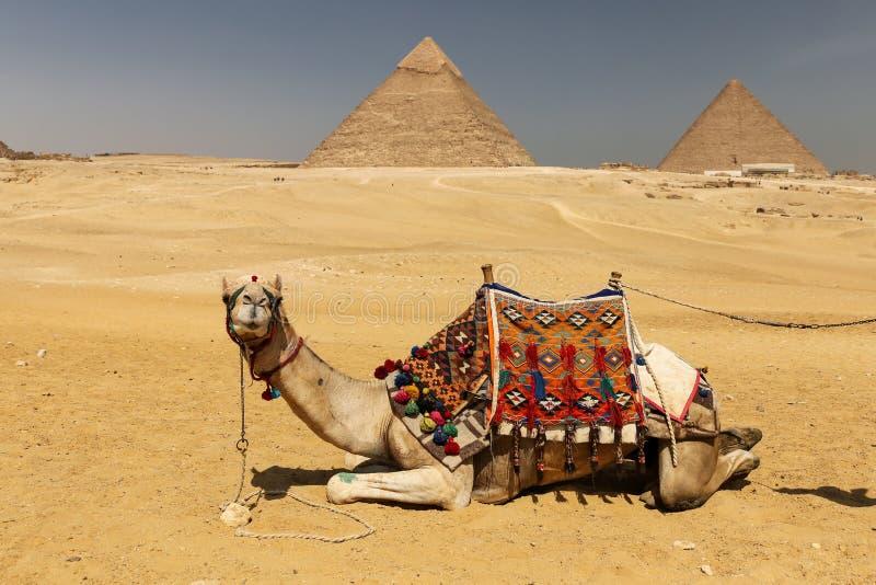 Καμήλες στην πυραμίδα Giza σύνθετη, Κάιρο, Αίγυπτος στοκ εικόνα