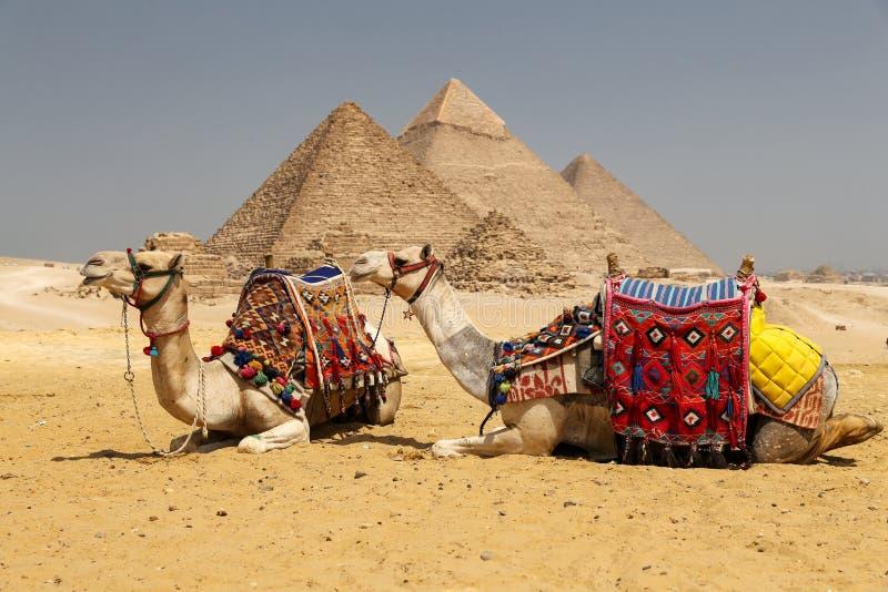 Καμήλες στην πυραμίδα Giza σύνθετη, Κάιρο, Αίγυπτος στοκ φωτογραφίες