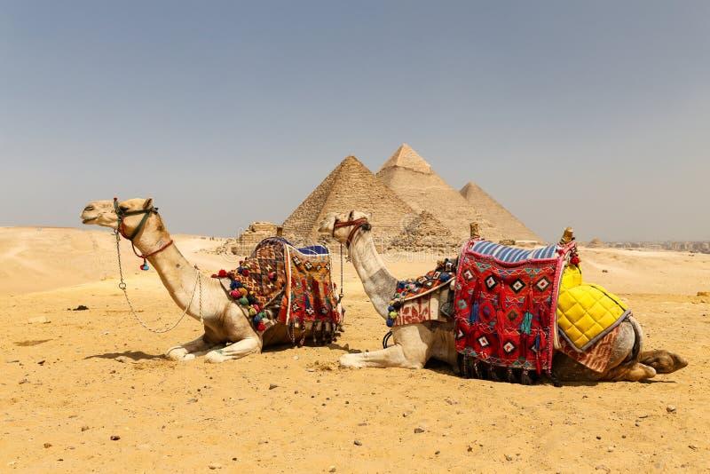 Καμήλες στην πυραμίδα Giza σύνθετη, Κάιρο, Αίγυπτος στοκ εικόνες