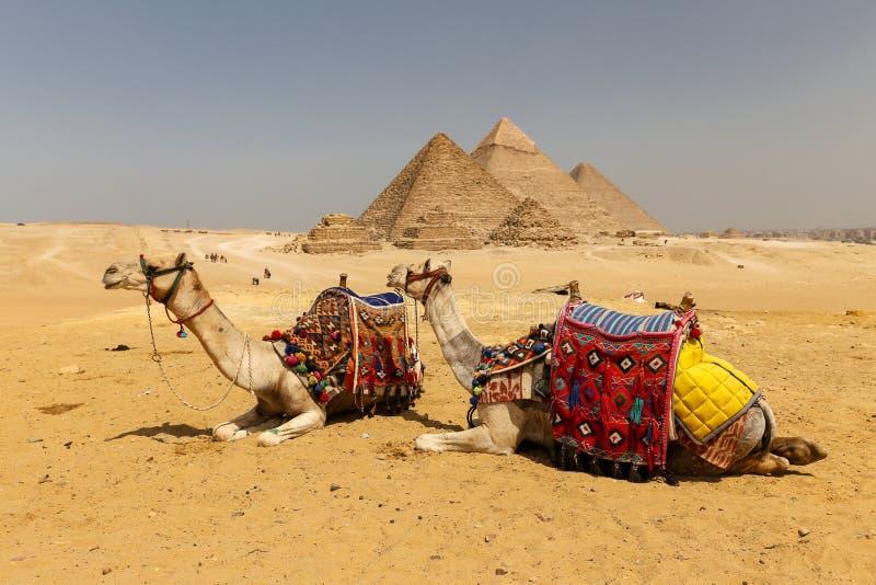 Καμήλες στην πυραμίδα Giza σύνθετη, Κάιρο, Αίγυπτος στοκ φωτογραφία με δικαίωμα ελεύθερης χρήσης