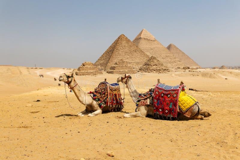 Καμήλες στην πυραμίδα Giza σύνθετη, Κάιρο, Αίγυπτος στοκ εικόνα με δικαίωμα ελεύθερης χρήσης