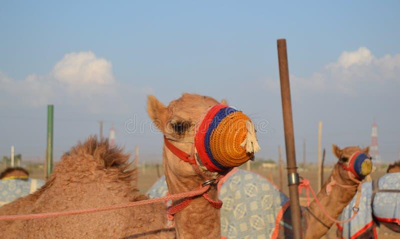 Download Καμήλα αγώνα στο χρωματισμένο ρύγχος του Στοκ Εικόνα - εικόνα από γύρος, ντουμπάι: 62723191