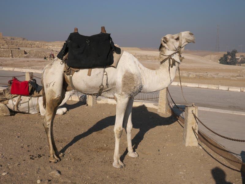 Καμήλα για την επίσκεψη κοντά στην πυραμίδα Khufu στοκ φωτογραφίες