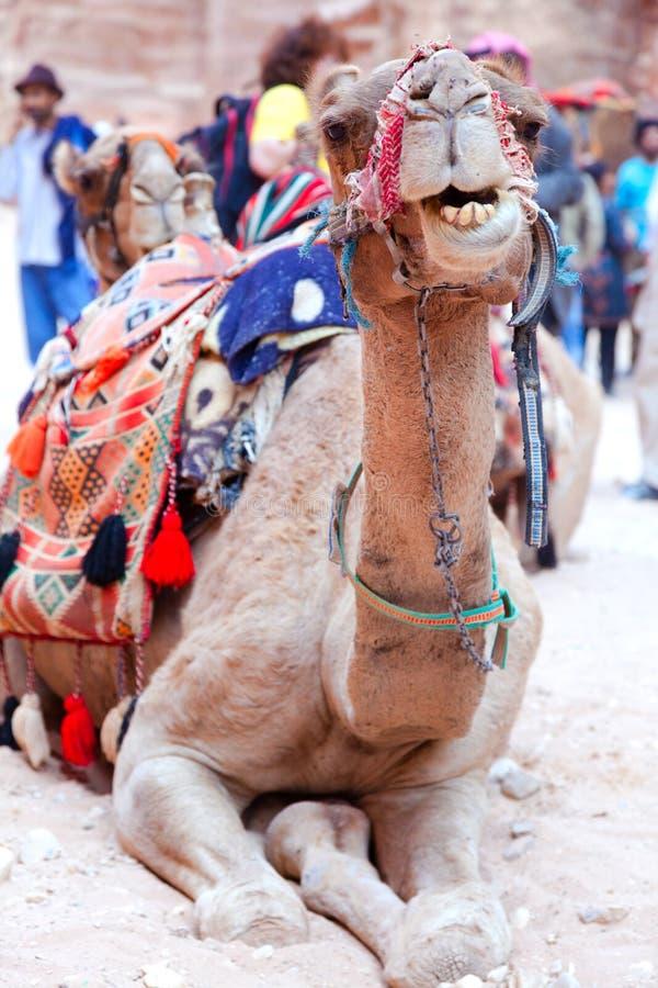 Καμήλα της Petra στοκ εικόνες