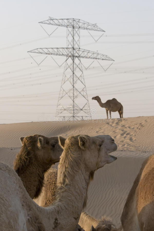 Καμήλες Ε.Α.Ε. Ντουμπάι σε ένα αγρόκτημα στην έρημο έξω από το Ντουμπάι στοκ εικόνα
