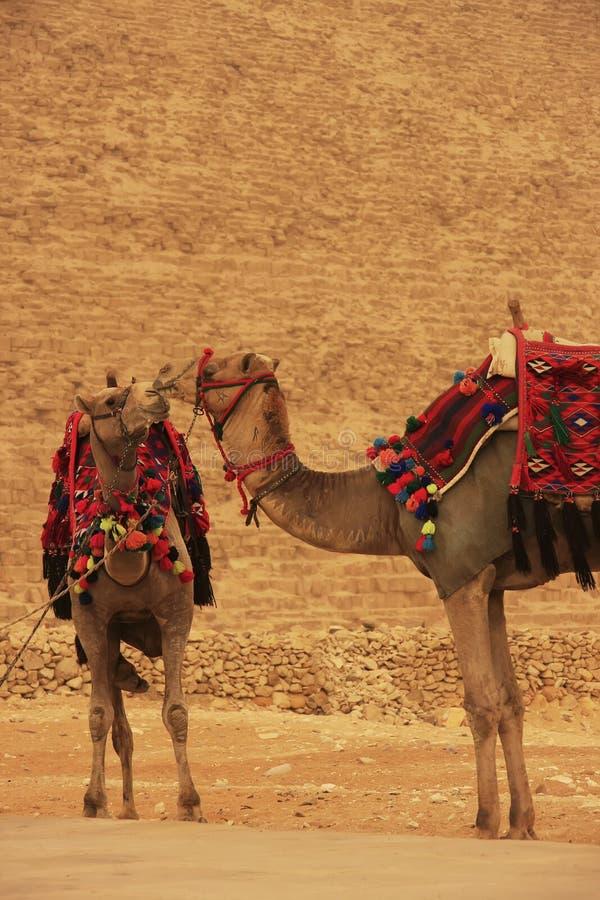 Καμήλες που υπερασπίζονται την πυραμίδα Khafre, Κάιρο στοκ εικόνα