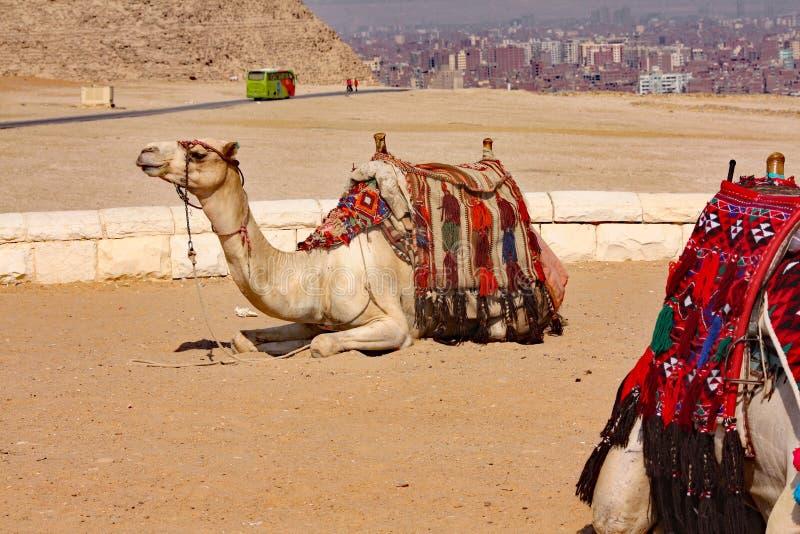 Καμήλες, σκάφη της ερήμου - Giza, Αίγυπτος στοκ εικόνα με δικαίωμα ελεύθερης χρήσης