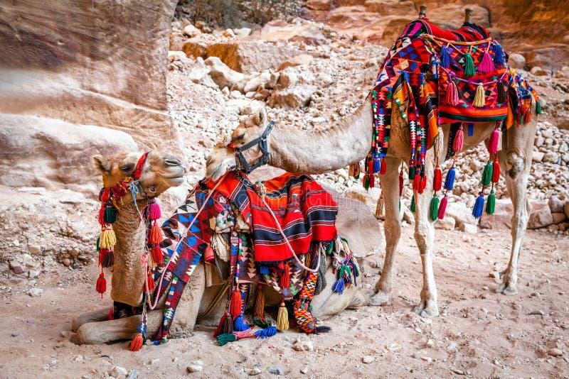 Καμήλες στη Petra στοκ φωτογραφίες με δικαίωμα ελεύθερης χρήσης
