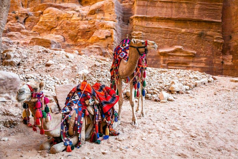 Καμήλες στη Petra στοκ φωτογραφία