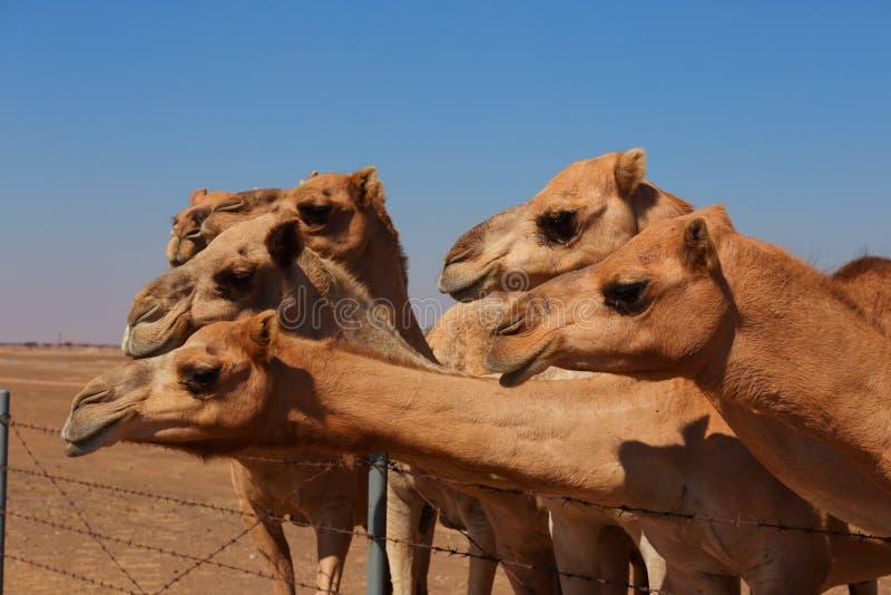 Καμήλες στο αγρόκτημα στοκ εικόνες