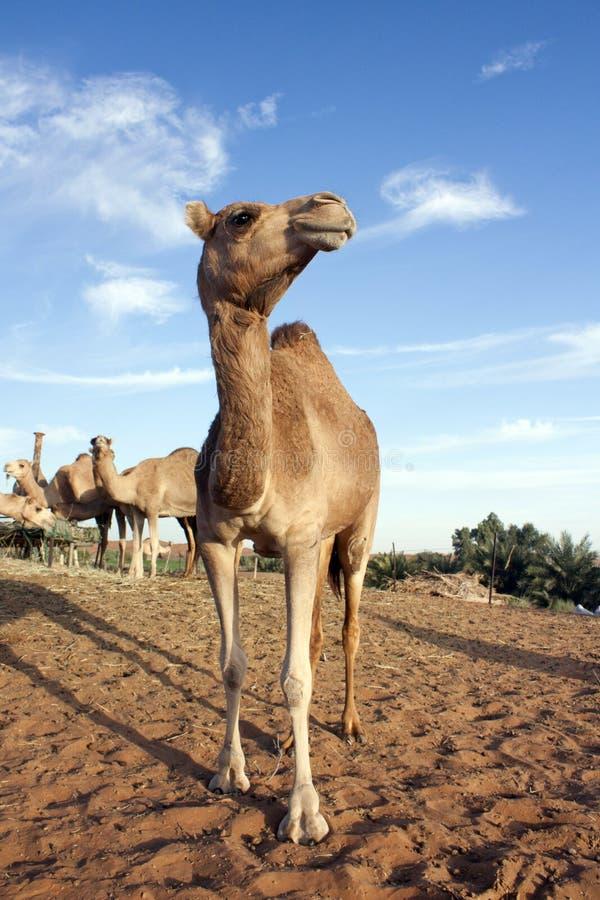 Καμήλες στο Ντουμπάι στοκ εικόνες