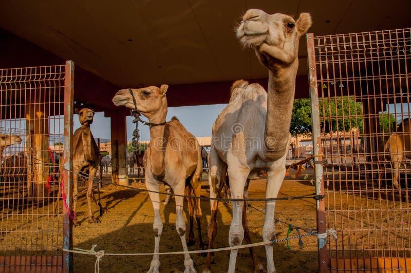 καμήλες στοκ εικόνα