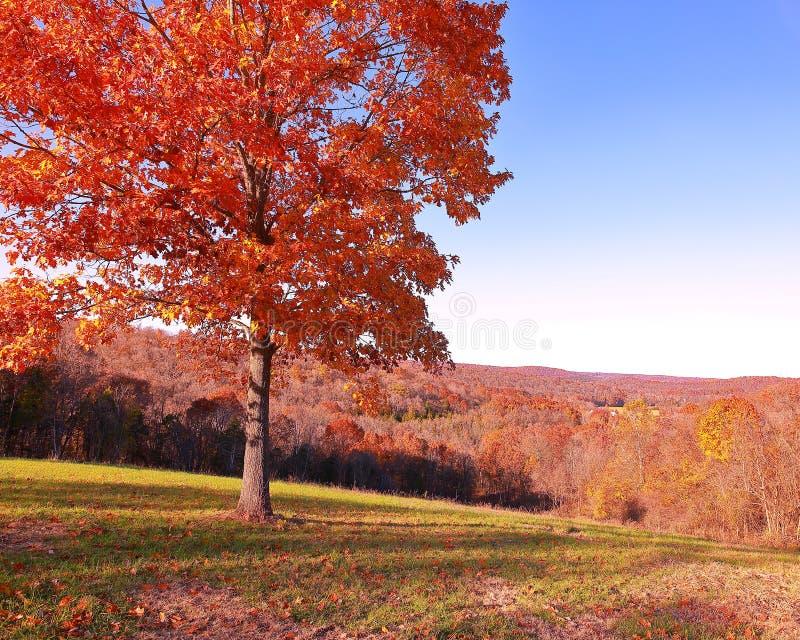 Καμμένος κόκκινο δρύινο δέντρο στο ανατολικό Μισσούρι στοκ εικόνες