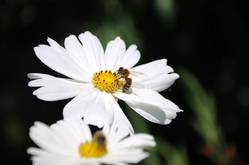 Καμμένος λουλούδια για τη μέλισσα στοκ εικόνα