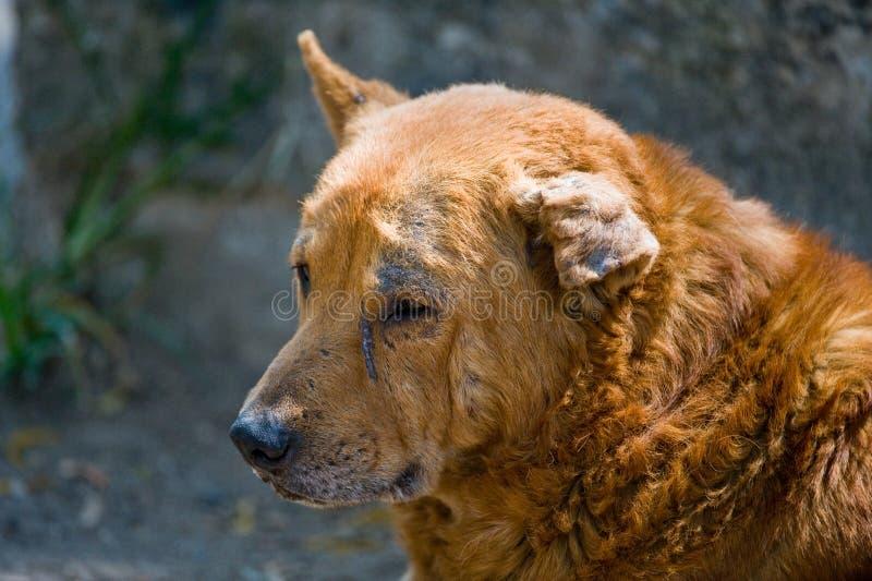 καμμμένο αυτί σκυλιών περ&iota στοκ εικόνα