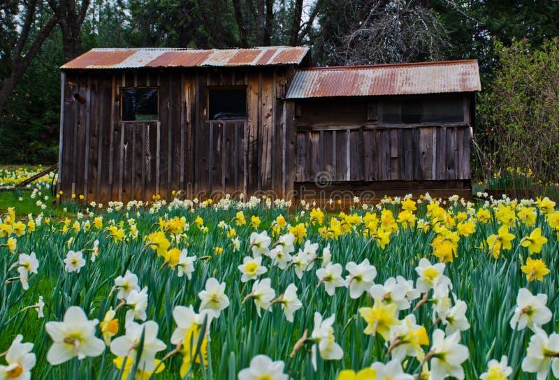 Καμπίνα και Daffodils στοκ εικόνες