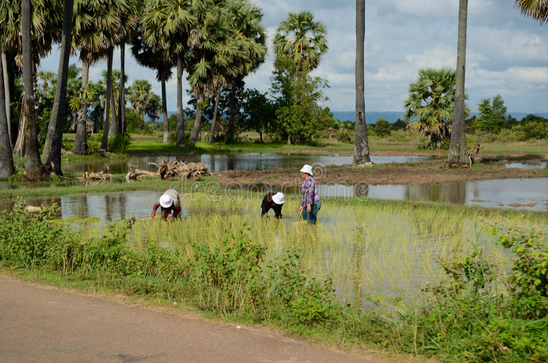 Καμποτζηανοί που εργάζονται στον τομέα ρυζιού στοκ φωτογραφία