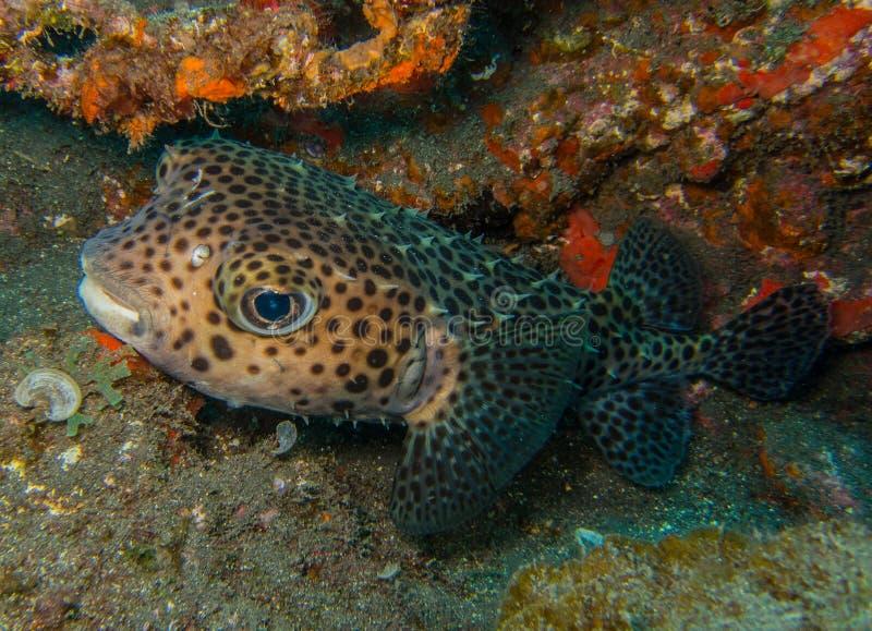 Κανάρια νησιά Spotfin burrfish- στοκ εικόνα