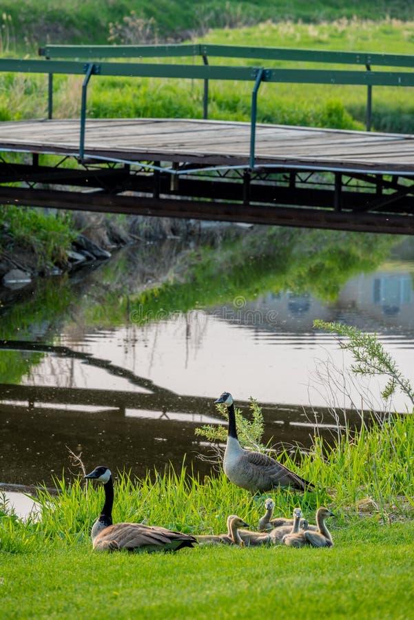 Καναδικές χήνες μητέρων και πατέρων με το συμπλέκτη των χηναριών κάτω από μια γέφυρα στο γήπεδο του γκολφ Elmwood στο γρήγορο ρεύ στοκ εικόνα