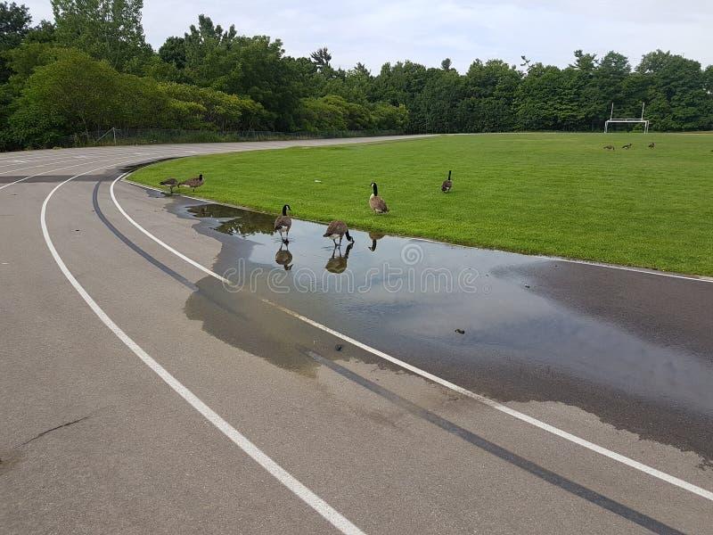 Καναδικές χήνες που πίνουν στο τρέξιμο της διαδρομής στοκ εικόνα με δικαίωμα ελεύθερης χρήσης