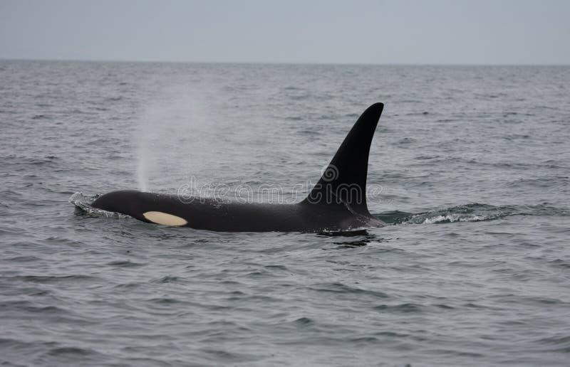 καναδική εδρεύουσα φάλαινα δολοφόνων στοκ φωτογραφία με δικαίωμα ελεύθερης χρήσης