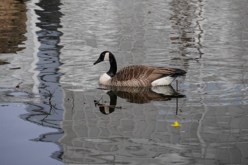 Καναδόχηνα/πουλί canadensis Branta που κολυμπά σε μια λίμνη την πρώιμη άνοιξη με τις αντανακλάσεις στο νερό στοκ εικόνα με δικαίωμα ελεύθερης χρήσης