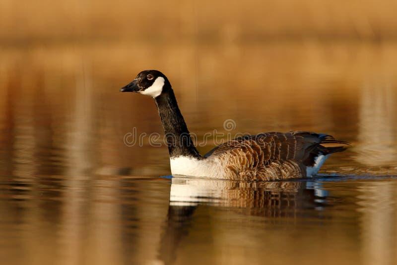 Καναδόχηνα, canadensis Branta, γραπτό στην επιφάνεια νερού, ζώο στο βιότοπο χλόης λιμνών φύσης, Σουηδία Πρωί στοκ φωτογραφίες