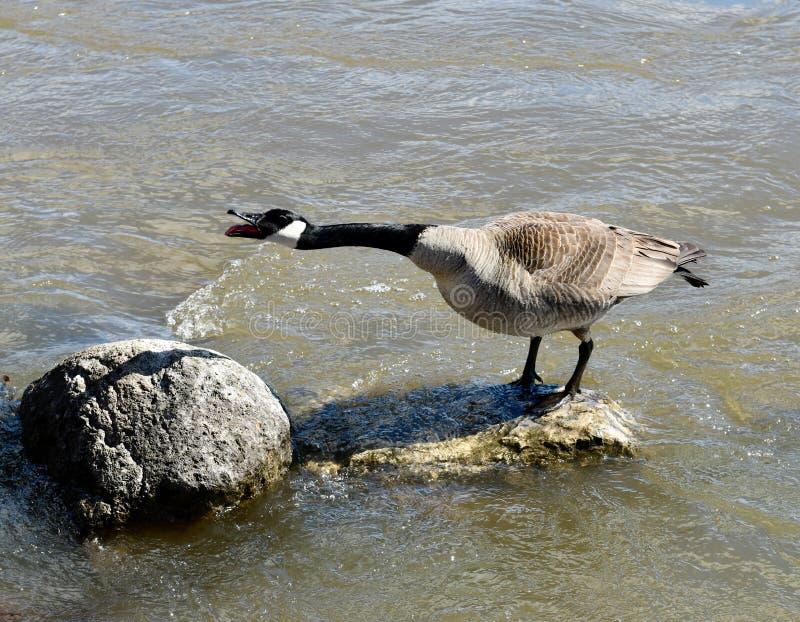Καναδόχηνα Squawking σε έναν βράχο στοκ φωτογραφία