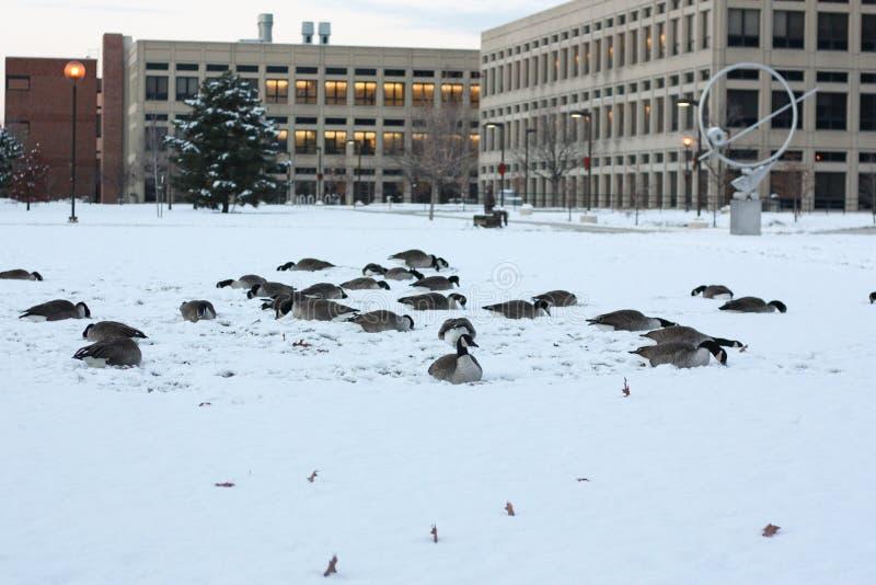 Καναδόχηνες στο χιόνι στην Ινδιανάπολη, Ιντιάνα, ΗΠΑ στοκ εικόνες