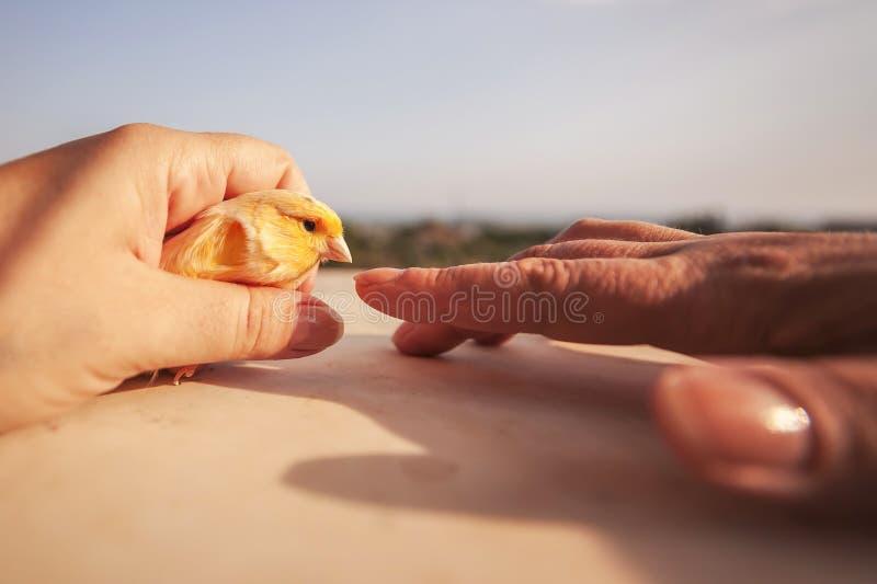Καναρίνι αφής ατόμων στοκ φωτογραφίες