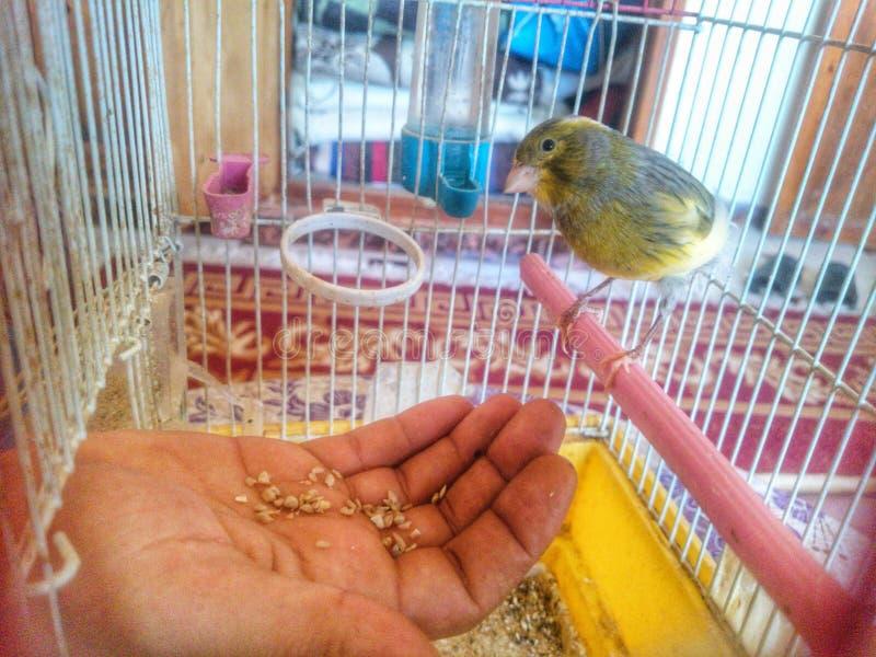 Καναρίνι πουλιών κίτρινο στοκ φωτογραφία με δικαίωμα ελεύθερης χρήσης