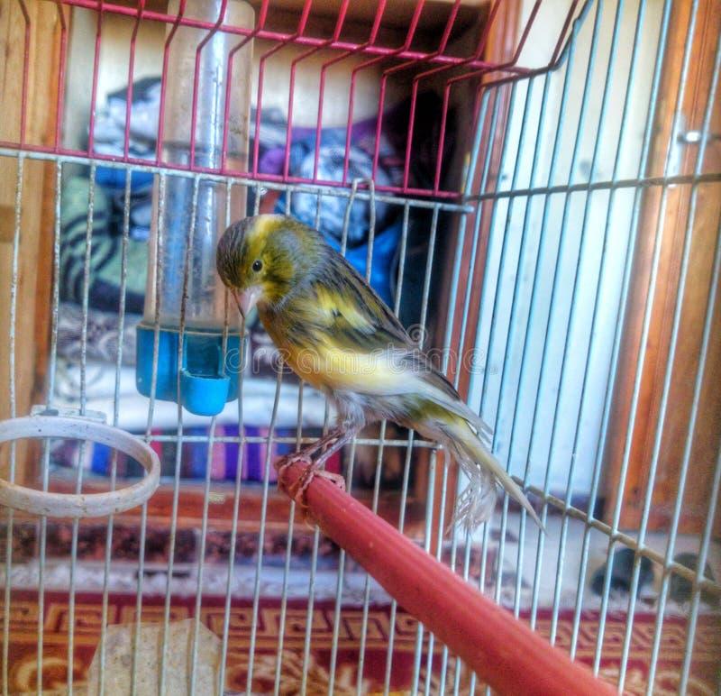 Καναρίνι πουλιών κίτρινο στοκ εικόνα με δικαίωμα ελεύθερης χρήσης
