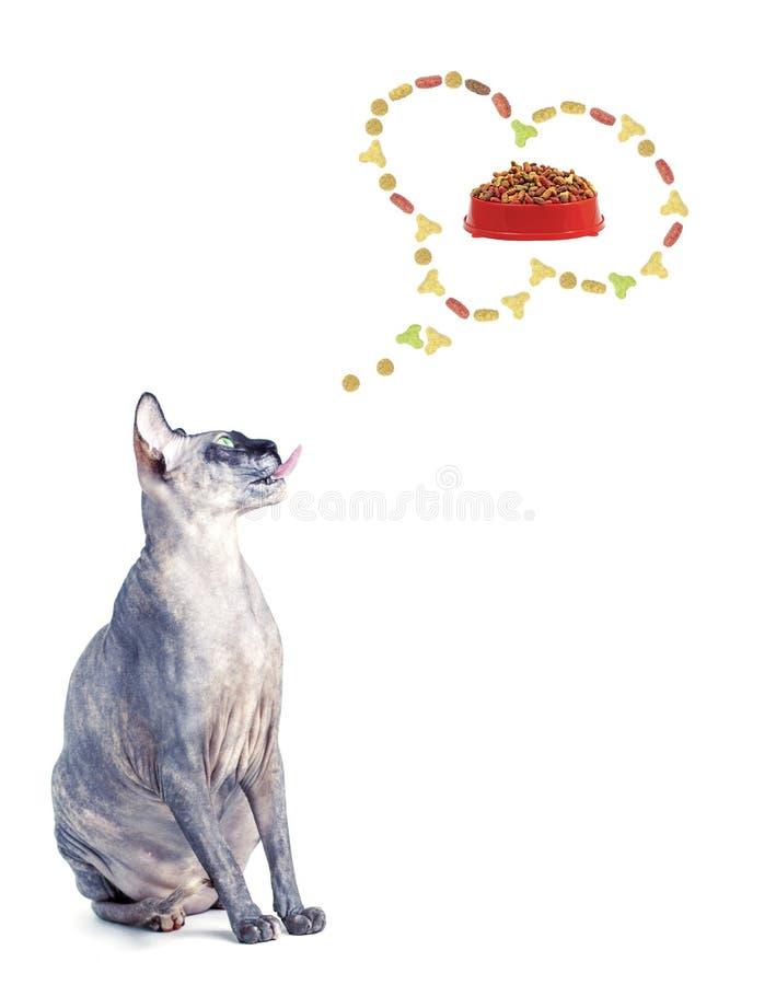 Καναδικά όνειρα γατών sphynx (σκεφτείτε) καλών ξηρών τροφίμων Λευκιά ΤΣΕ στοκ φωτογραφίες