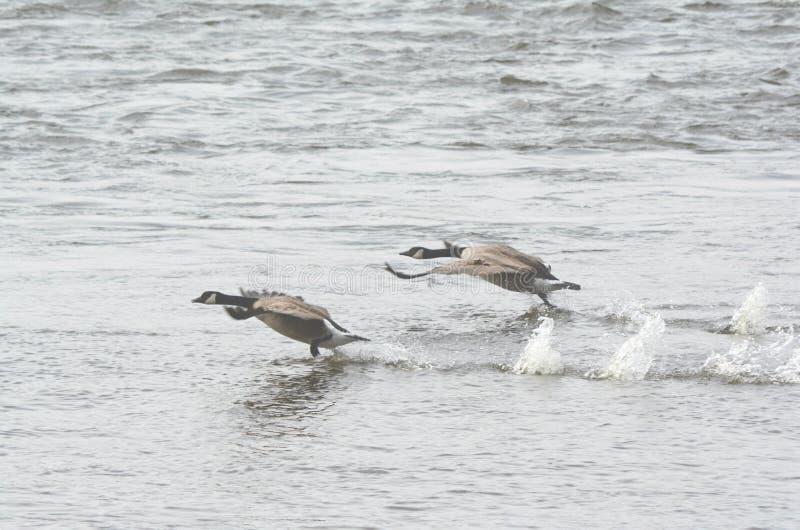 Καναδικές χήνες που τρέπονται σε φυγή από τον ποταμό στοκ φωτογραφία με δικαίωμα ελεύθερης χρήσης