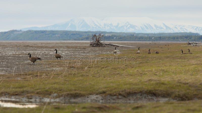 Καναδική χήνα στην Αλάσκα στοκ εικόνα με δικαίωμα ελεύθερης χρήσης