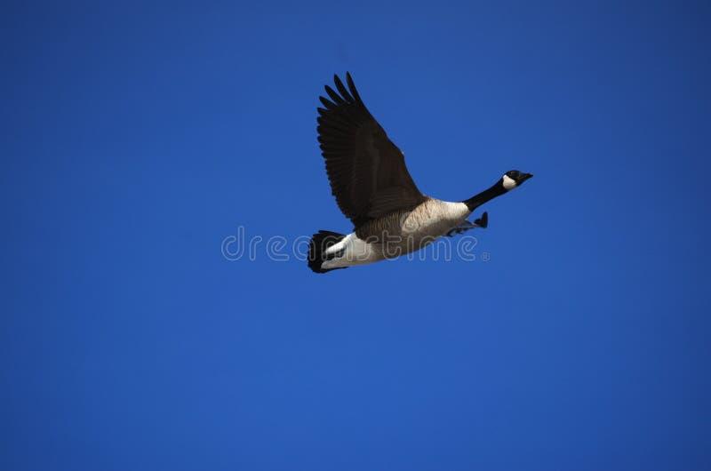 Καναδόχηνα ενάντια σε έναν βαθύ μπλε ουρανό στοκ φωτογραφία με δικαίωμα ελεύθερης χρήσης