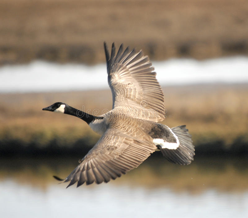 Καναδόχηνα που πετά πέρα από τους υγρότοπους στοκ φωτογραφία