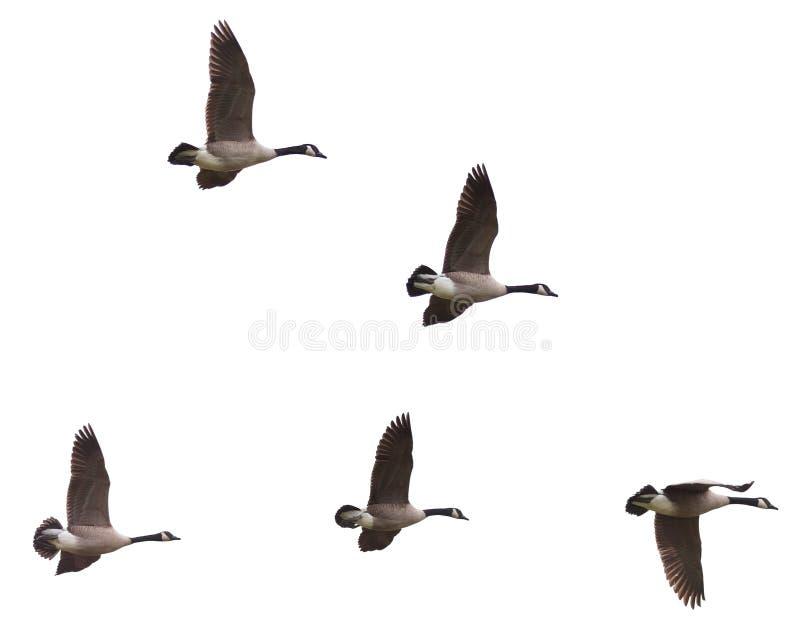 Καναδόχηνες που πετούν σε ένα άσπρο υπόβαθρο στοκ εικόνες