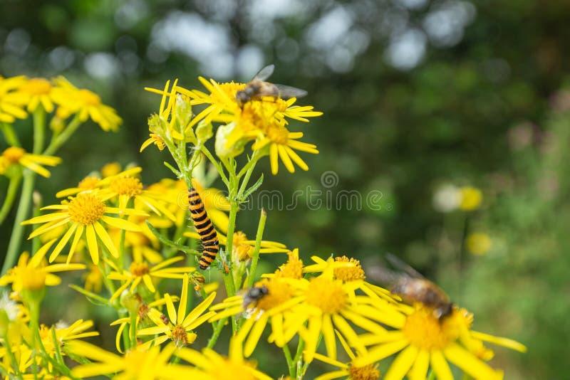 """Καννάβαρ Μοθ Κάμπια στα άνθη Ï""""Î¿Ï… Μπλόσομ Ράγκγουορτ στοκ εικόνες με δικαίωμα ελεύθερης χρήσης"""