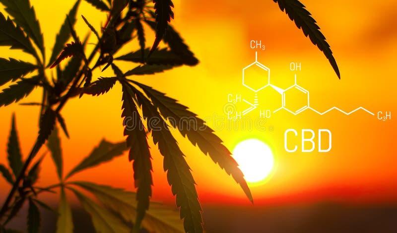 Καννάβεις του cannabidiol τύπου CBD Έννοια της χρησιμοποίησης της μαριχουάνα για ιατρικούς λόγους στοκ εικόνα με δικαίωμα ελεύθερης χρήσης