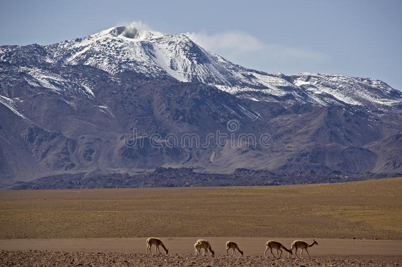 Καπνίζοντας ηφαίστειο σε Atacama, Χιλή, με vicuna στοκ εικόνες