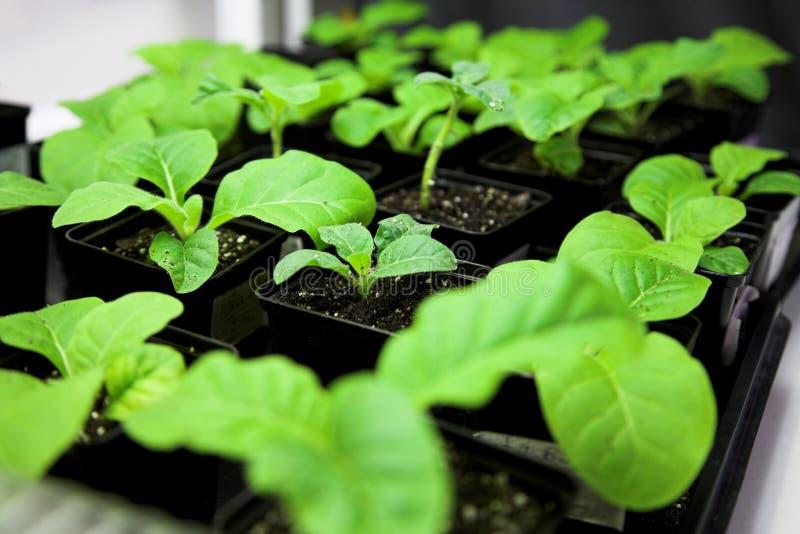 καπνός φυτών στοκ εικόνες με δικαίωμα ελεύθερης χρήσης