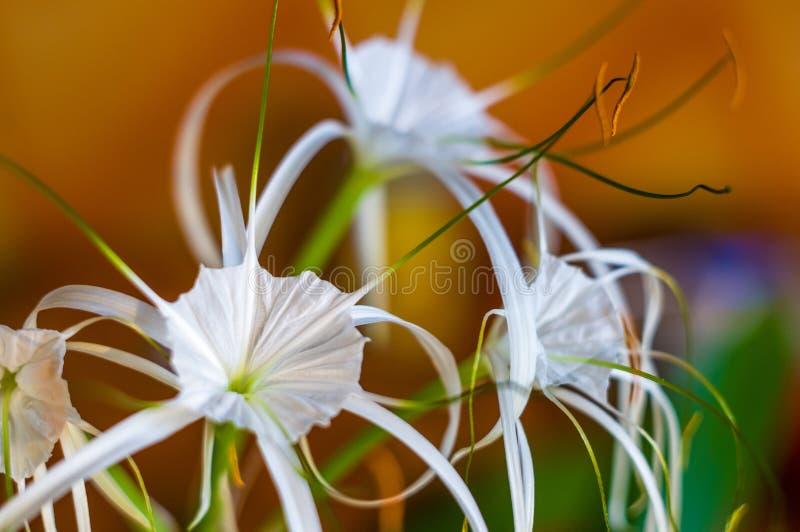 καραϊβικός αράχνη-κρίνος, μοναδικό άσπρο λουλούδι ύφους σε πολύχρωμο στοκ εικόνες