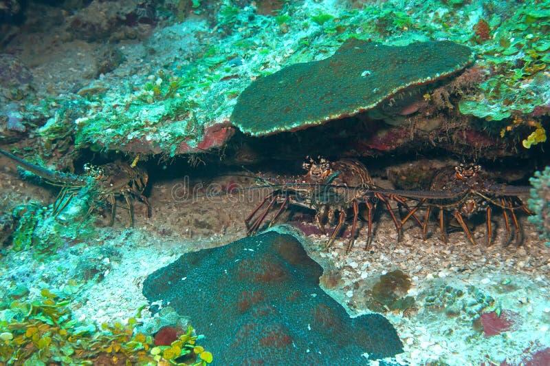 καραϊβικός αστακός στοκ εικόνες με δικαίωμα ελεύθερης χρήσης