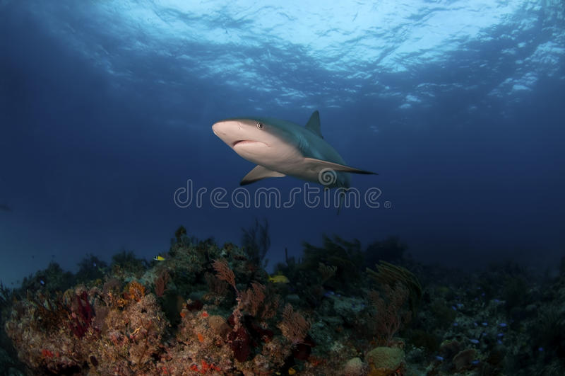 καραϊβικός καρχαρίας σκοπέλων στοκ εικόνες με δικαίωμα ελεύθερης χρήσης