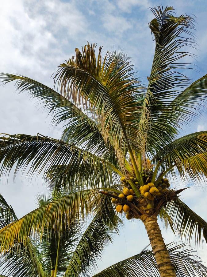 καραϊβικός φοίνικας της Κούβας καρύδων στοκ εικόνα