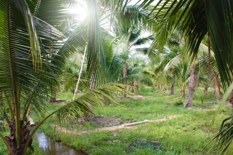 Download καραϊβικός φοίνικας της Κούβας καρύδων Στοκ Εικόνες - εικόνα από τοπίο, εξωτικός: 62723250