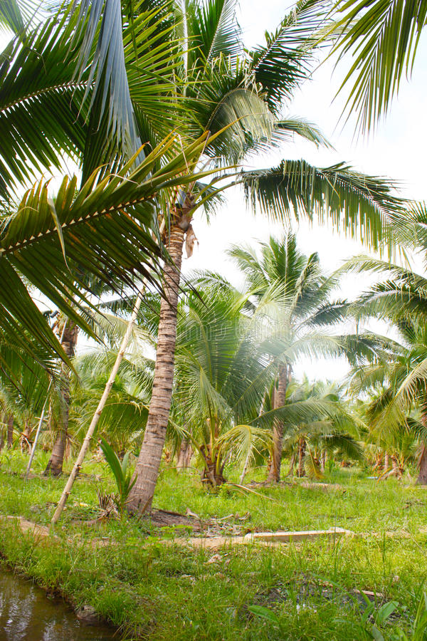 Download καραϊβικός φοίνικας της Κούβας καρύδων Στοκ Εικόνες - εικόνα από πράσινος, τοπίο: 62723374