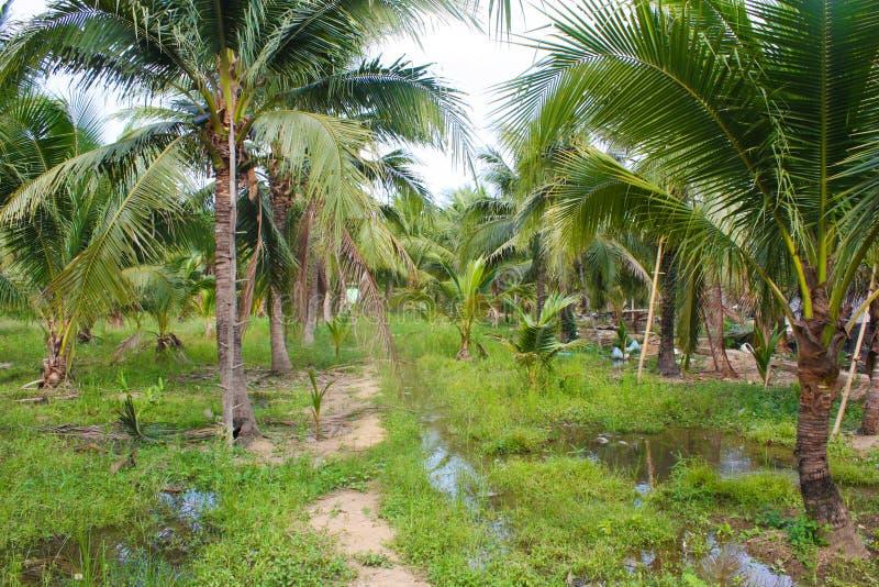 Download καραϊβικός φοίνικας της Κούβας καρύδων Στοκ Εικόνα - εικόνα από υπαίθριος, έξυπνο: 62723435