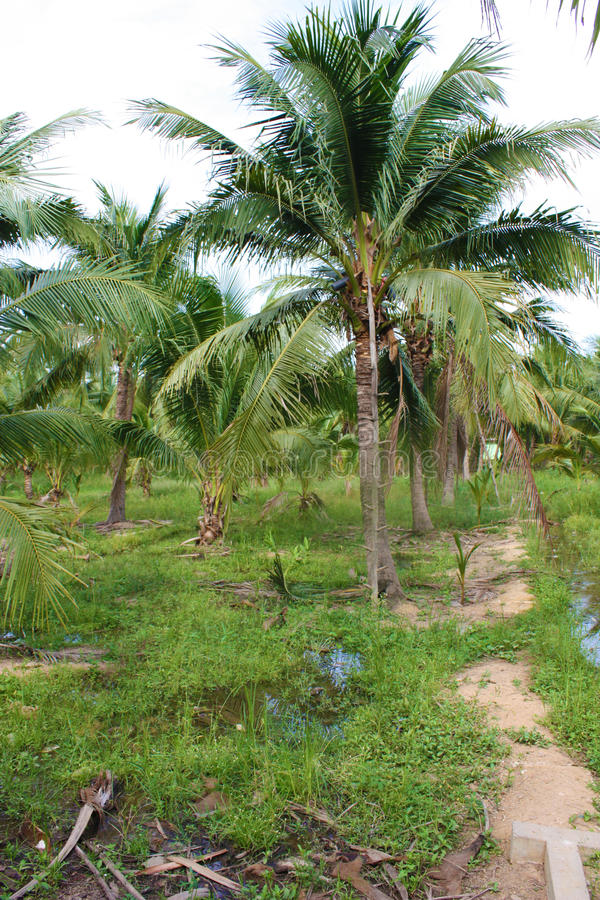 Download καραϊβικός φοίνικας της Κούβας καρύδων Στοκ Εικόνα - εικόνα από δάσος, χλωρίδα: 62723483